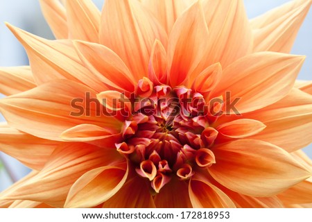 Orange dahlia closeup. Flower. - stock photo