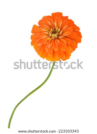 Orange daisy isolated on white. zinnia flower  - stock photo