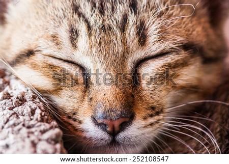 orange eyes Scottish Fold cat, portrait. Focus on eyes - stock photo