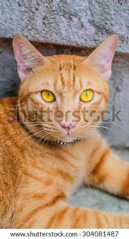 Orange Fat Cat Yellow Eye and Angry  - stock photo