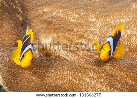 Orange-finned Anemonefish (Amphiprion chrysopterus) a pair on their anemone on a tropical coral reef off the islands of Palau in Micronesia. - stock photo