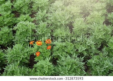 Orange flower blooming in the green garden - stock photo