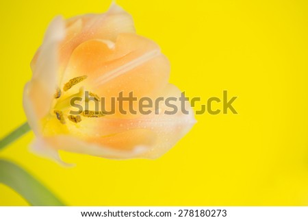 Orange Flower isolated against yellow. - stock photo