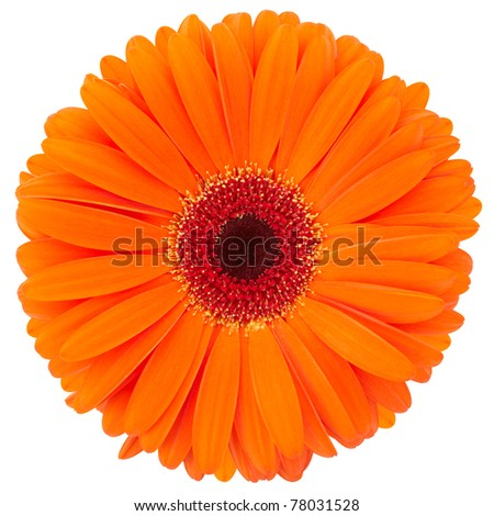Orange flower of gerber isolated on white background, clipping path included - stock photo