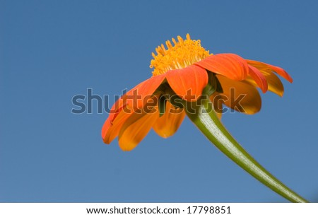 orange flower standing tall into blue sky - stock photo