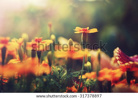 orange flowers in garden flowerbed. Vintage nature outdoor autumn photo - stock photo