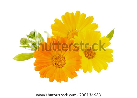 orange flowers of calendula. isolated on white background - stock photo
