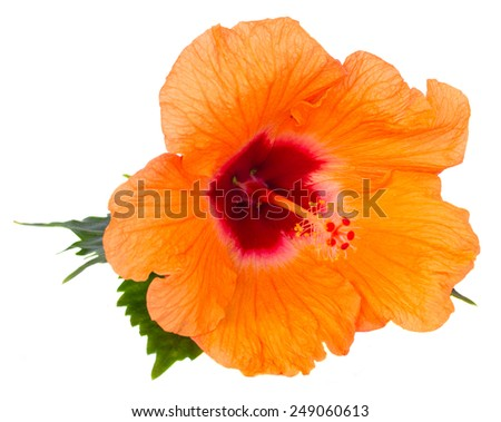 orange fresh  hibiscus flower with green leaves isolated on white background - stock photo