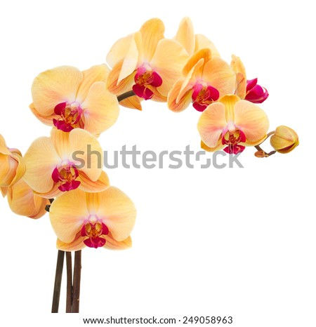 orange fresh  orchids branch  isolated on white background - stock photo
