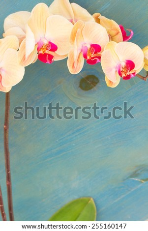 orange fresh  orchids branch  on blue table with copy space - stock photo
