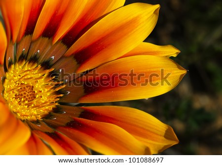 Orange Gazania - stock photo