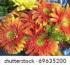 orange Gerber daisies, natural background - stock photo