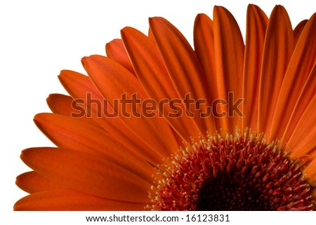 Orange gerber daisy - stock photo