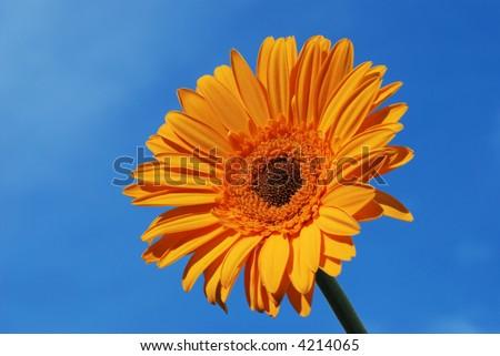 orange gerber daisy flower with blue sky - stock photo