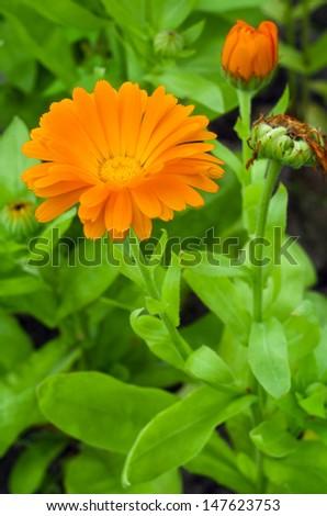 Orange gerbera flower in garden - stock photo