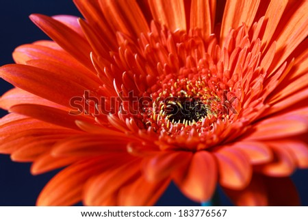Orange gerbera flower on a dark blue background, close-up, selective focus - stock photo