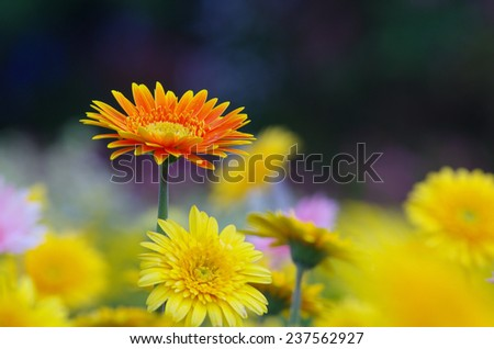 orange Gerbera flowers in the group of yellow color - stock photo