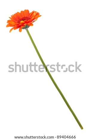 Orange gerberas on a long thin stem on a white background - stock photo