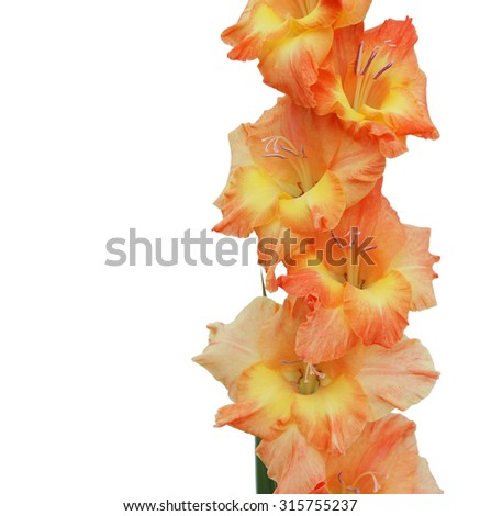 Orange gladiolus isolated on a white background - stock photo