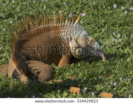 Orange, grey, and black iguana sticking out its tongue on green grass with light purple wildflowers - stock photo