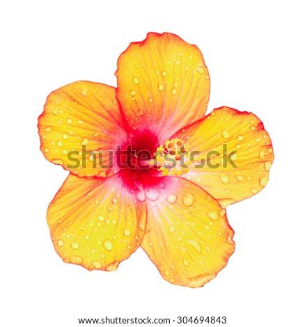 orange  hibiscus after rain on white background - stock photo