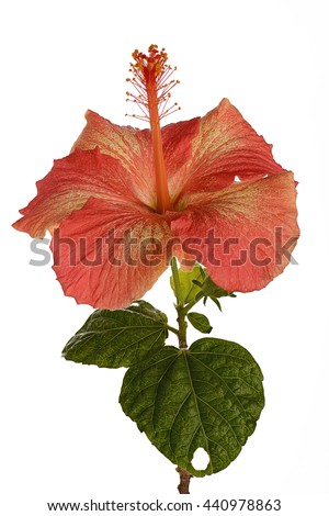 Orange hibiscus flower fully open with leaves and stem deep focus isolated on white background - stock photo