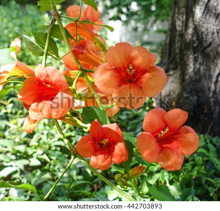 orange hibiscus flower with leaves  - stock photo