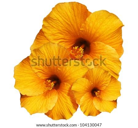 Orange Hibiscus isolated on White - stock photo
