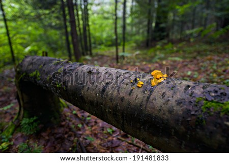 Orange jelly fungi on a fallen tree in a forest.  Shallow depth of field.  - stock photo