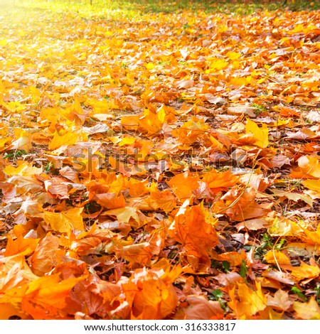 Orange leaves in autumn park with sun light Fall seasonal background - stock photo