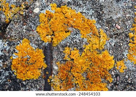 Orange lichen on gray stone - stock photo