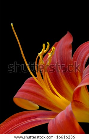 Orange lilly - stock photo