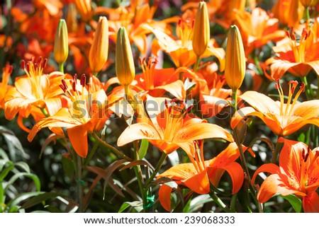 Orange lily flower - stock photo