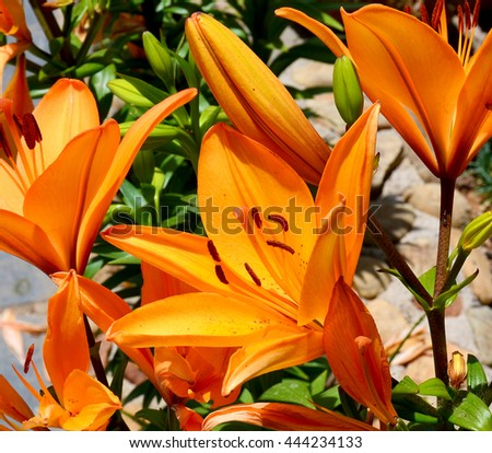 Orange lily flowers in the garden close up. - stock photo