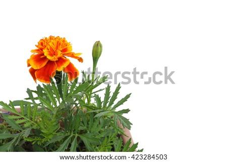 orange marigold and bud in white - stock photo