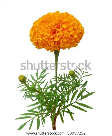 Orange marigold branch - stock photo