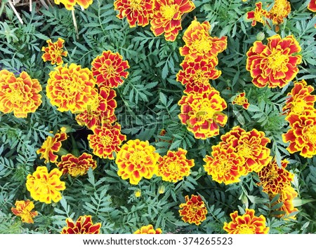 Orange marigolds in the flowerbed. Flowers and gardens - stock photo