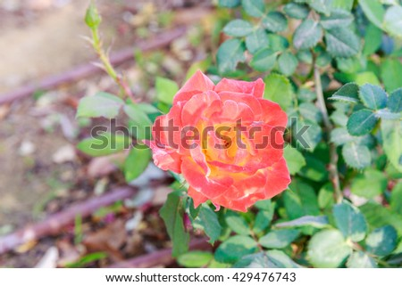 Orange mature rose on blurred background - stock photo
