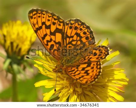 orange monarch butterfly on the yellow dandelion  flower - stock photo