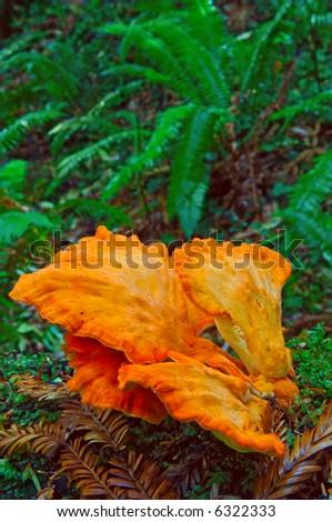 orange mushrooms in redwood forest of california - stock photo