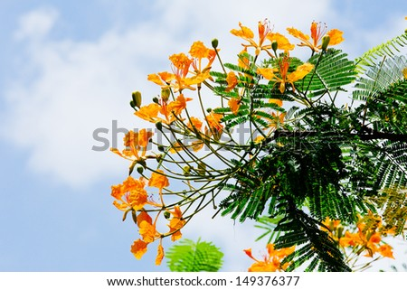 Orange Peacock flower - stock photo