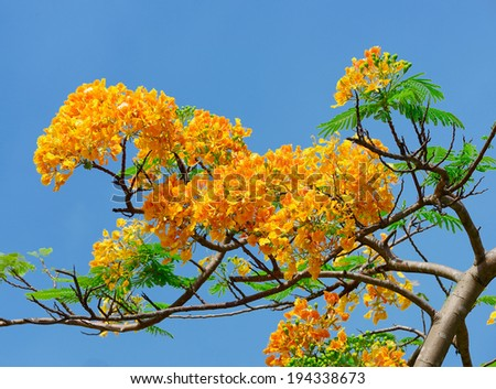 Orange Peacock flower. - stock photo