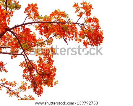 orange peacock flowers on poinciana tree. Isolated on white - stock photo