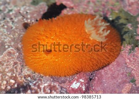 Orange Peel Sea Slug - stock photo