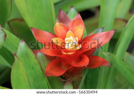 orange pineapple flower - stock photo