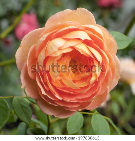 "Orange, pink and peach flower of the Lady of Shalott David Austin rose - Rosa ""Lady of Shalott' (Ausnyson) -in the garden - stock photo"