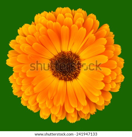 Orange Pot Marigold - Calendula officinalis flower isolated on green - stock photo