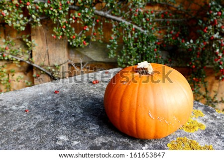 Orange pumpkin on lichen-covered stone bench in front of cotoneaster  - stock photo