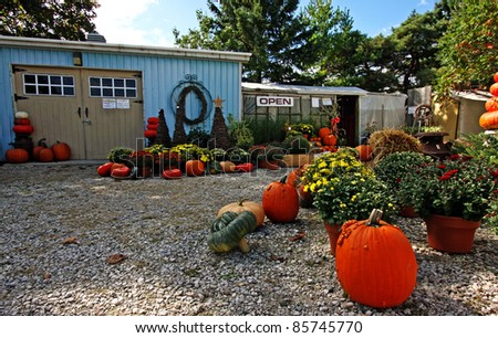 orange pumpkins at harvest time - stock photo