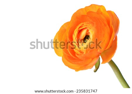 orange ranunculus flower isolated on white background - stock photo